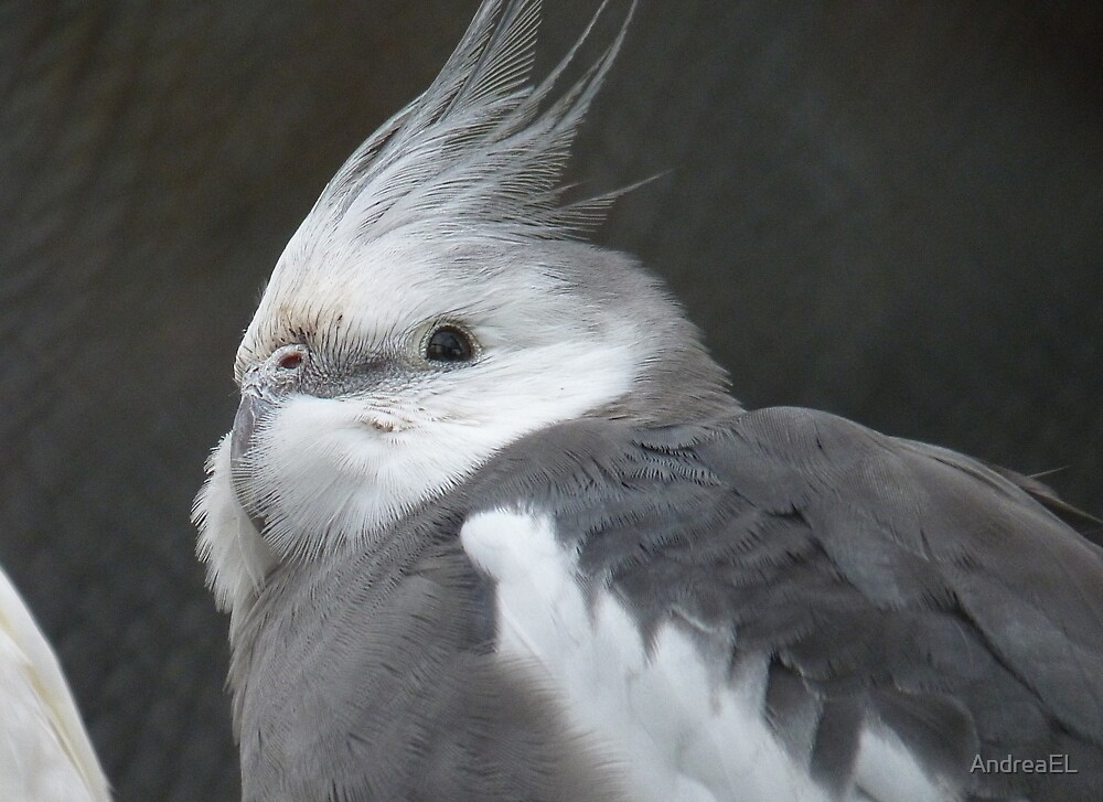 Cockatiel Mutations |White Faced Cockatiel