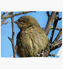 Are you looking at me! - Bellbird - Southalnd - New Zealand Poster