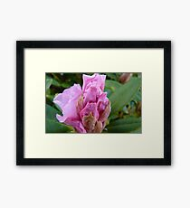 Unfolding! Rhododendron - Southland - New Zealand Framed Print