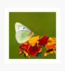 Clouded Sulfer Butterfly Square Art Print