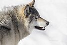 Timber Wolf by Yannik Hay