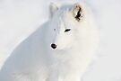 Foxy - Arctic Fox by Yannik Hay