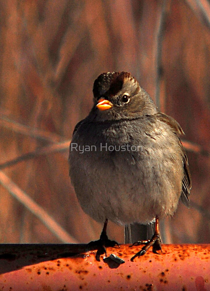White Crowned Sparrow - Red by Ryan Houston