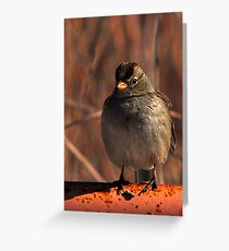 White Crowned Sparrow - Red Greeting Card