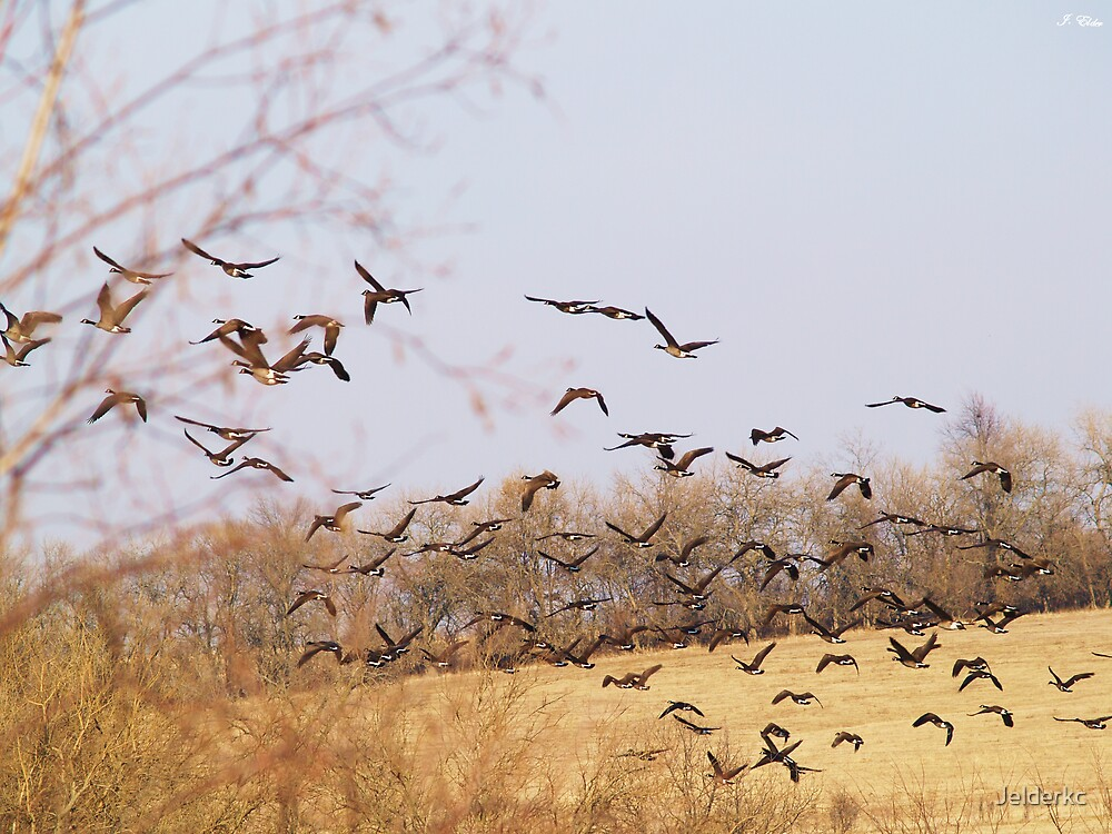 Geese in Flight by Jelderkc