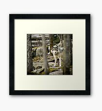 Timber Wolf Between the Trees Framed Print