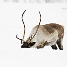 In the Blizzard - Reindeer by Yannik Hay