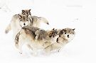 Timber Wolves by Yannik Hay