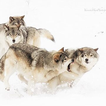 Timber Wolves by Photograph2u