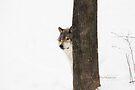 Hide and Seek! - Timber Wolf by Yannik Hay