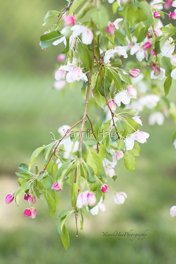 Crab Apple Flower Sprig by Yannik Hay