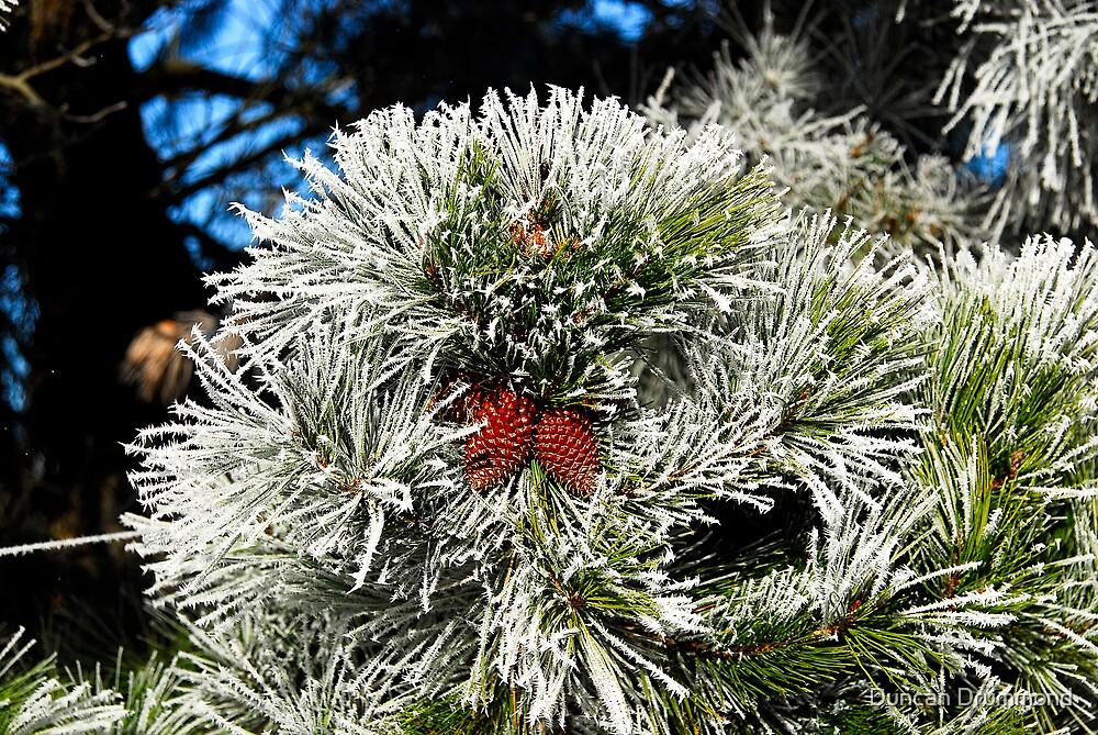 Pinecone in winter coat by Duncan Drummond