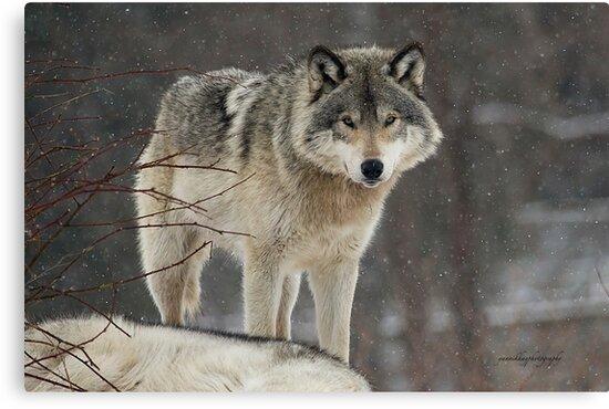 Dominant Wolf by Yannik Hay