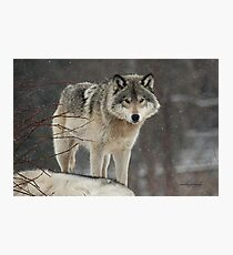 Dominant Wolf Photographic Print