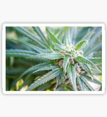 Cannabis flower and leaves  Sticker