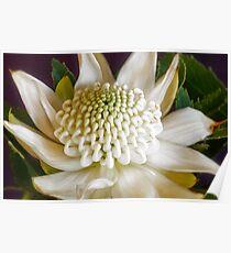White Waratah Flower Poster