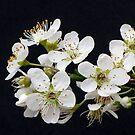 Plum Blossom by DPalmer