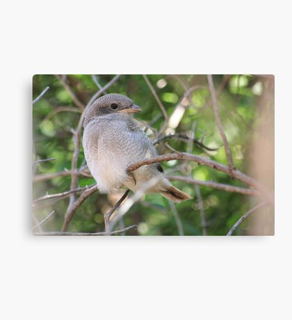 Fiscal Shrike Fledgling - One of four Canvas Print