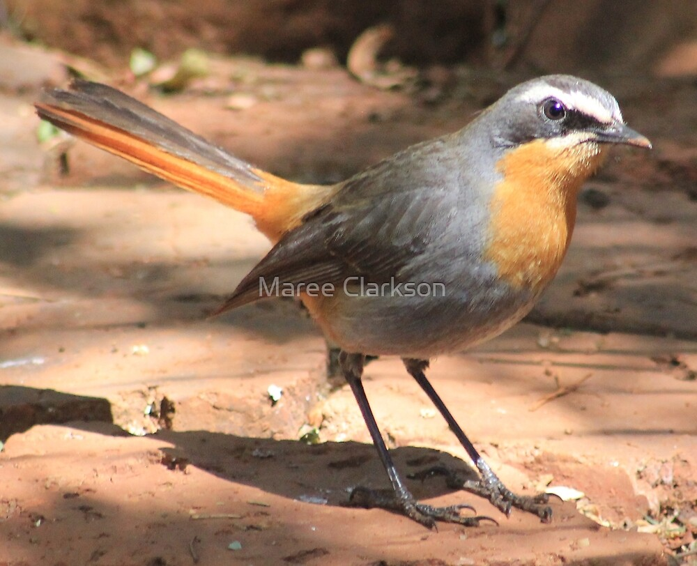 Cape Robin giving me the eye by Maree Clarkson