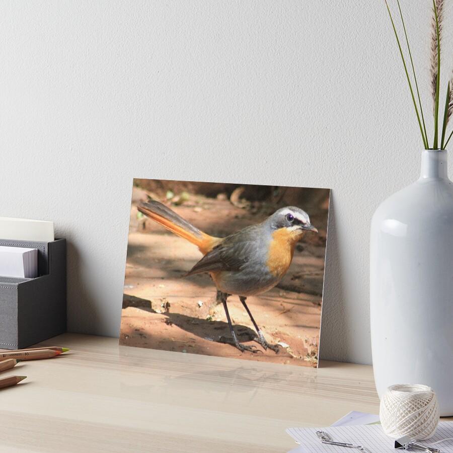 Cape Robin giving me the eye Art Board Print