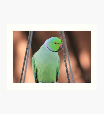 Indian Ringneck Parrot in my garden Art Print