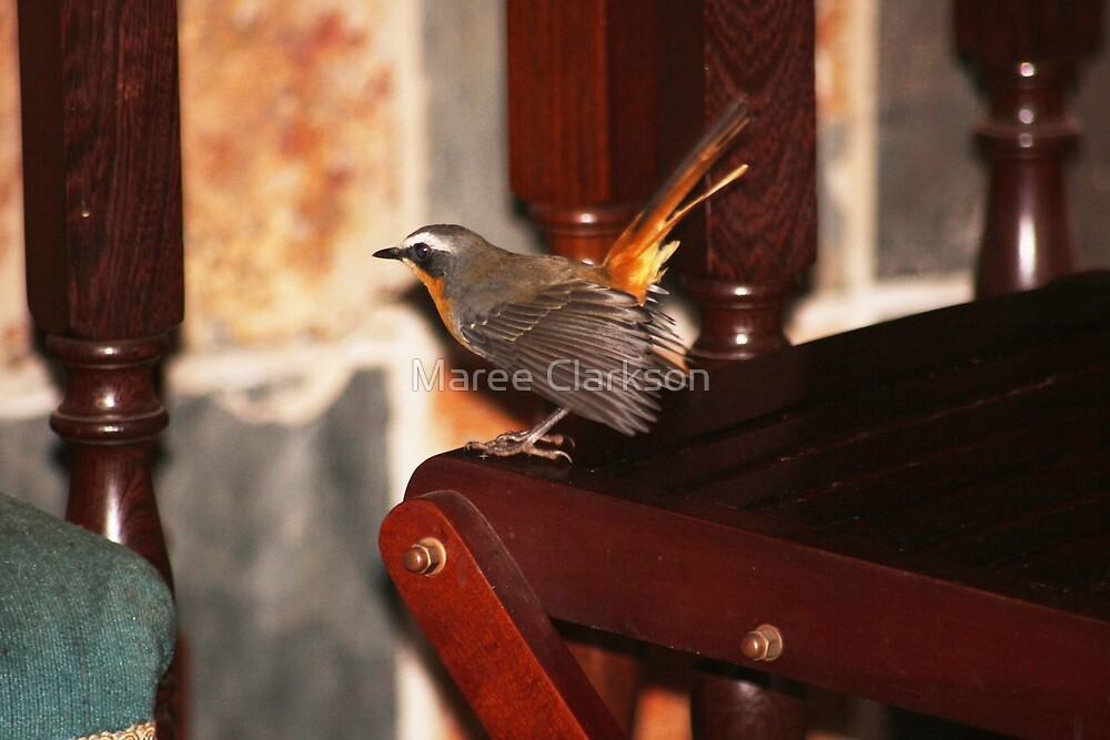 Robin in my house by Maree Clarkson
