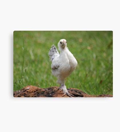 Farm talk - Snoodles, a chick with attitude! Canvas Print