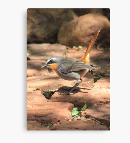 Cape Robin (Cossypha caffra) Canvas Print