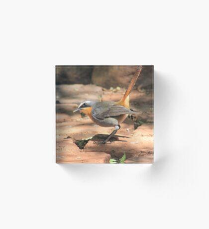 Cape Robin (Cossypha caffra) Acrylic Block