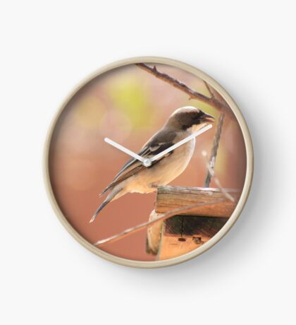 White-browed Sparrow Weaver (Plocepasser mahali) Clock