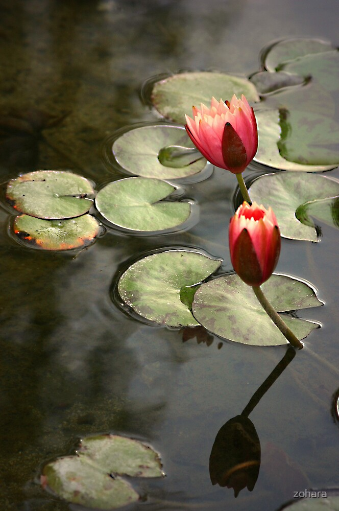 water lilies by zohara