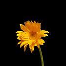 Elegant Yellow Gerbera Daisy by hummingbirds