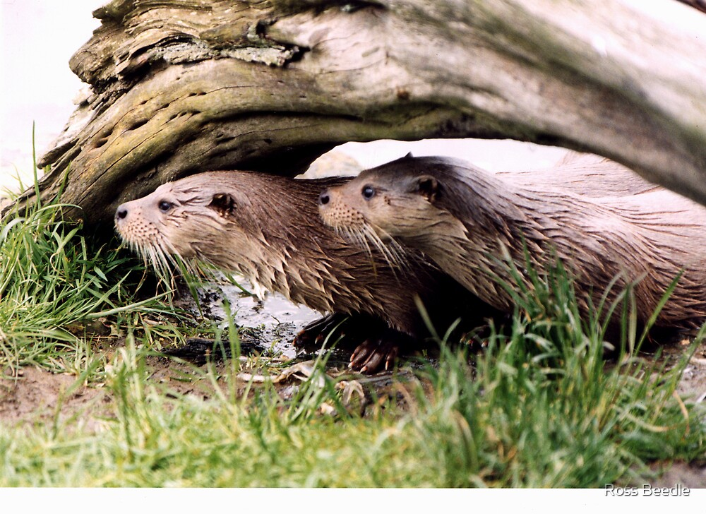 Otters by Ross Beedle