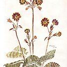 Primula 'Gold Lace' - botanische Illustration von Maree Clarkson