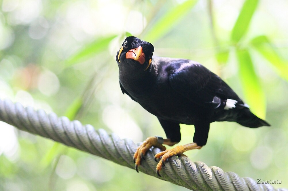 Common Hill Mynah - Beo by Zeanana