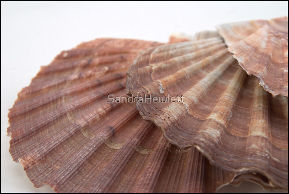 Conquille de mer - Douze by SandraHewlett