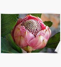 Pink bud Waratah Poster