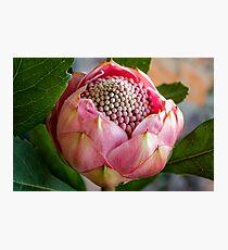 Pink bud Waratah Photographic Print