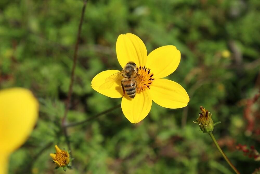 Honey Bee on Yellow Flower by rhamm
