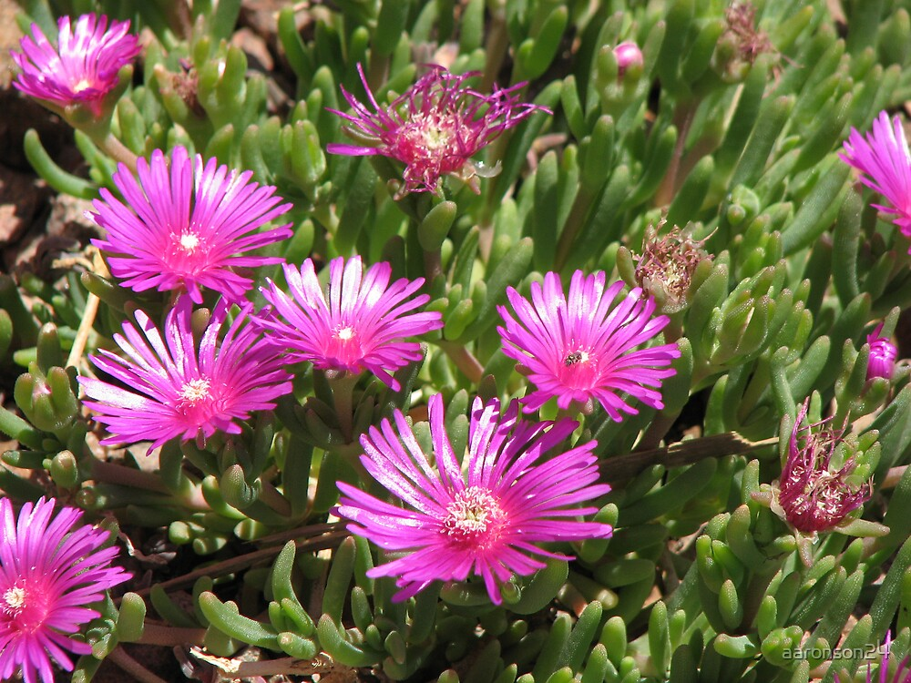Ice Plant by aaronson24