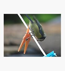 Blue tit perched on washing line Photographic Print