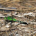 Bright Green Dragonfly by TJ Baccari Photography
