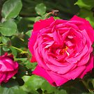 Rose by jean-louis bouzou