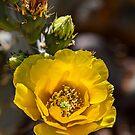 USA. Arizona. Saguaro National Park. Yellow Cactus Flower. by vadim19