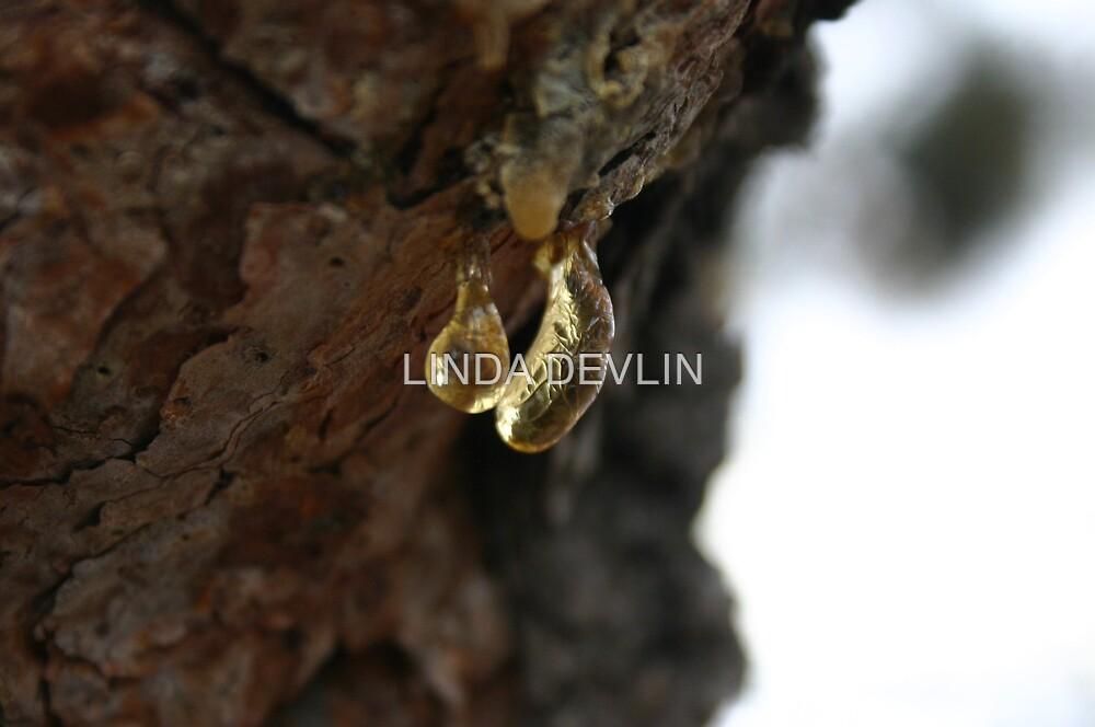 Amber Tree Sap on Pine Tree by LINDA DEVLIN