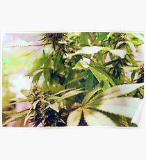 Skunk marijuana plants (Cannabis sativa) being grown in pots Poster
