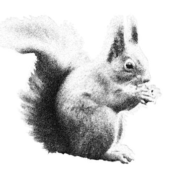 Squirrel black and white by cathag