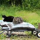 Cats in the garden. by Alice Kahn