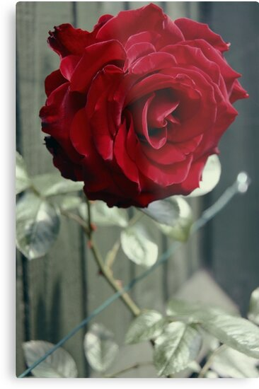 Red Rose by ushma-s