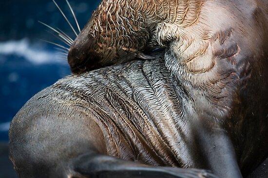 Australian Fur Seal by caradione